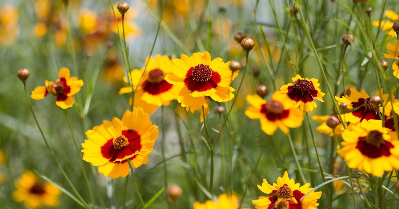 coreopsis tinctoria flower